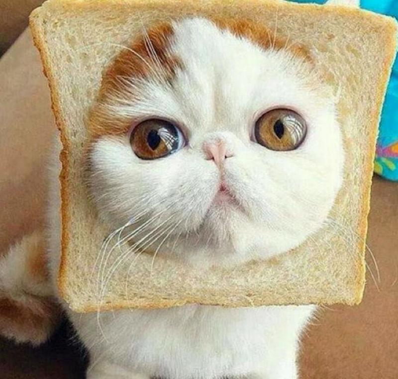 Image result for what is it with cats and toast