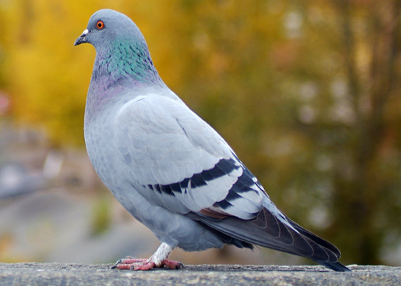 what is the difference between pigeon and dove hinative